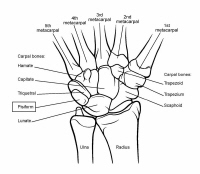anatomy physiology notes skeletal system key pdf Labeled Diagram of a Polyp 11 wrist and hand bones