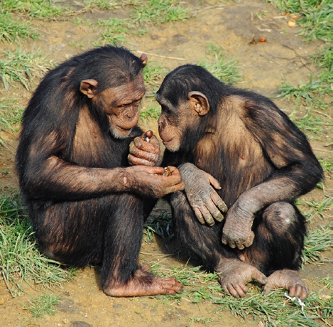 What sort of behaviours do you expect to observe in a chimpanzee troop?