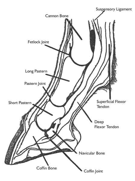 4 h h o r s e p r o j e c t m a n u a l parts of the horse pdf Scyphozoa Diagram bones ligaments and tendons together affect the horse s ability to move and to prevent