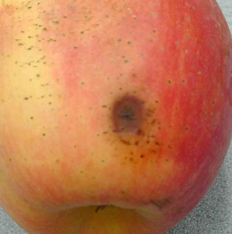 Pink Lady Brand Apples Scald control was not assessed in Pink Lady brand apples due to lack of scald on any apples.