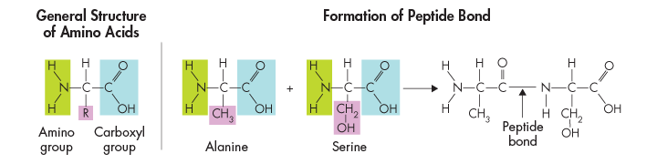 Amino acids differ from each other in a side chain called the, which have a range of different properties. More than different amino acids are found in nature.