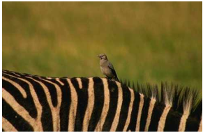 24. Oxpeckers land on rhinos or zebras backs and eat ticks and other parasites that live on their skin. The oxpeckers get food and the zebra get pest control.