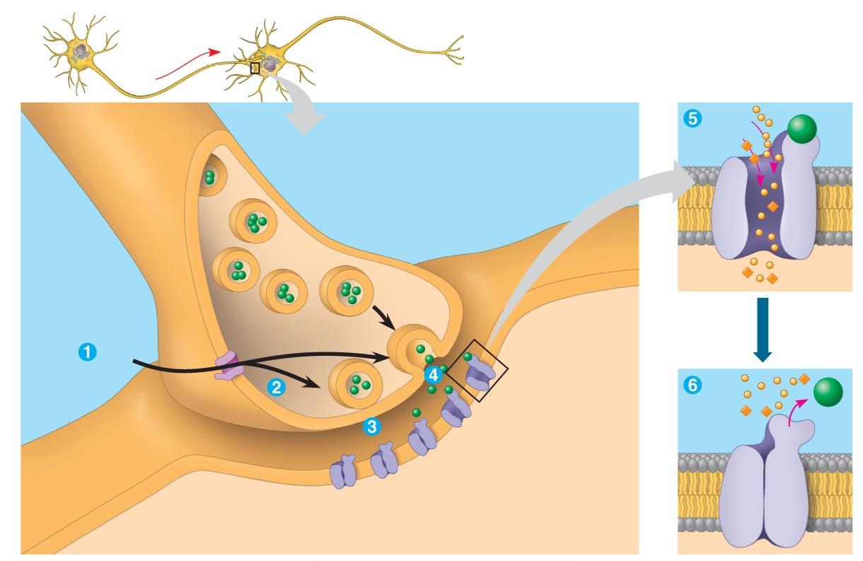 19) When the wave of depolarization arrives at the synaptic terminal, calcium ion channels open. What occurs to the synaptic vesicles as the Ca2+ level increases?
