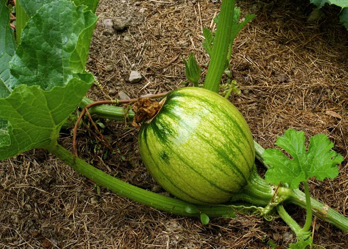 Cutting extra pumpkins off the vine directs all the plant s growth to the ones that remain. When they are the size of softballs, all but the best pumpkins are cut off the vine.