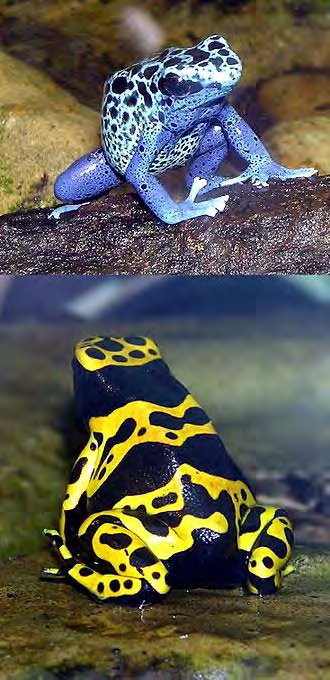 How do poison dart frogs reproduce sexually or asexually