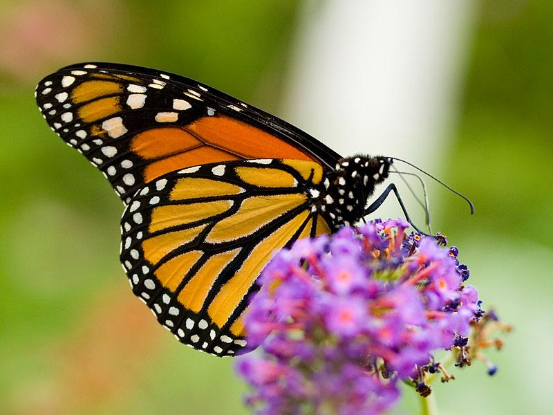 Genetic Basis of Butterflies By ReadWorks If you ve ever been in a park during the summer, you may have seen butterflies flitting from flower to flower.
