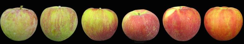 Apple Fruit Maturation Color change Starch, firmness loss Soluble solids, titratable acidity