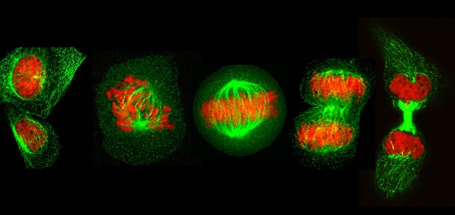 Dividing we stand Cell division is one of the most crucial processes of any living organism.