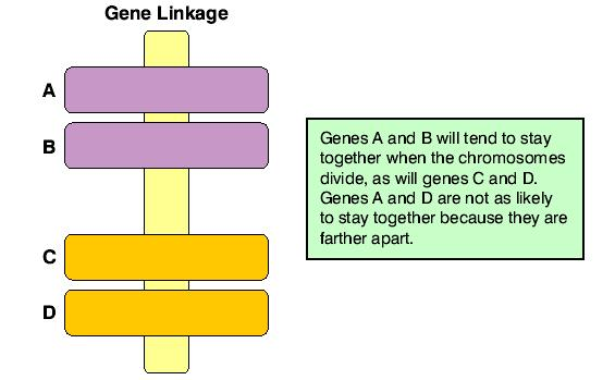 Linkage The tendency for certain traits to appear in groups in the offspring is called linkage.