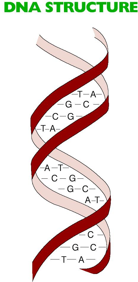 Importance of Genetics Chromosomes are made of genes that consist of DNA. DNA is a protein-like nucleic acid on genes that controls inheritance.