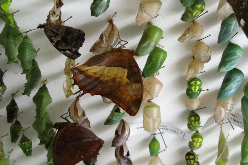 The magic that takes place inside the chrysalis is as remarkable as the beauty of the emerging butterfly.