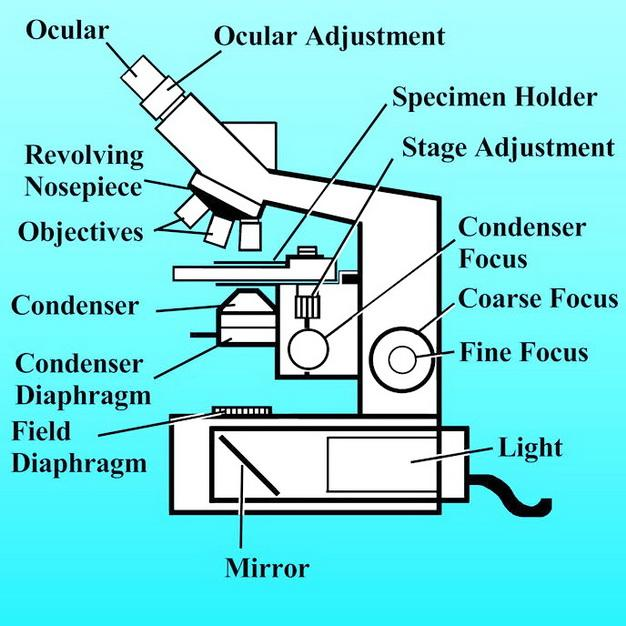 Biology 160 microscopy lab pdf name microscopy worksheet lab section circle one 100 3 ccuart Gallery