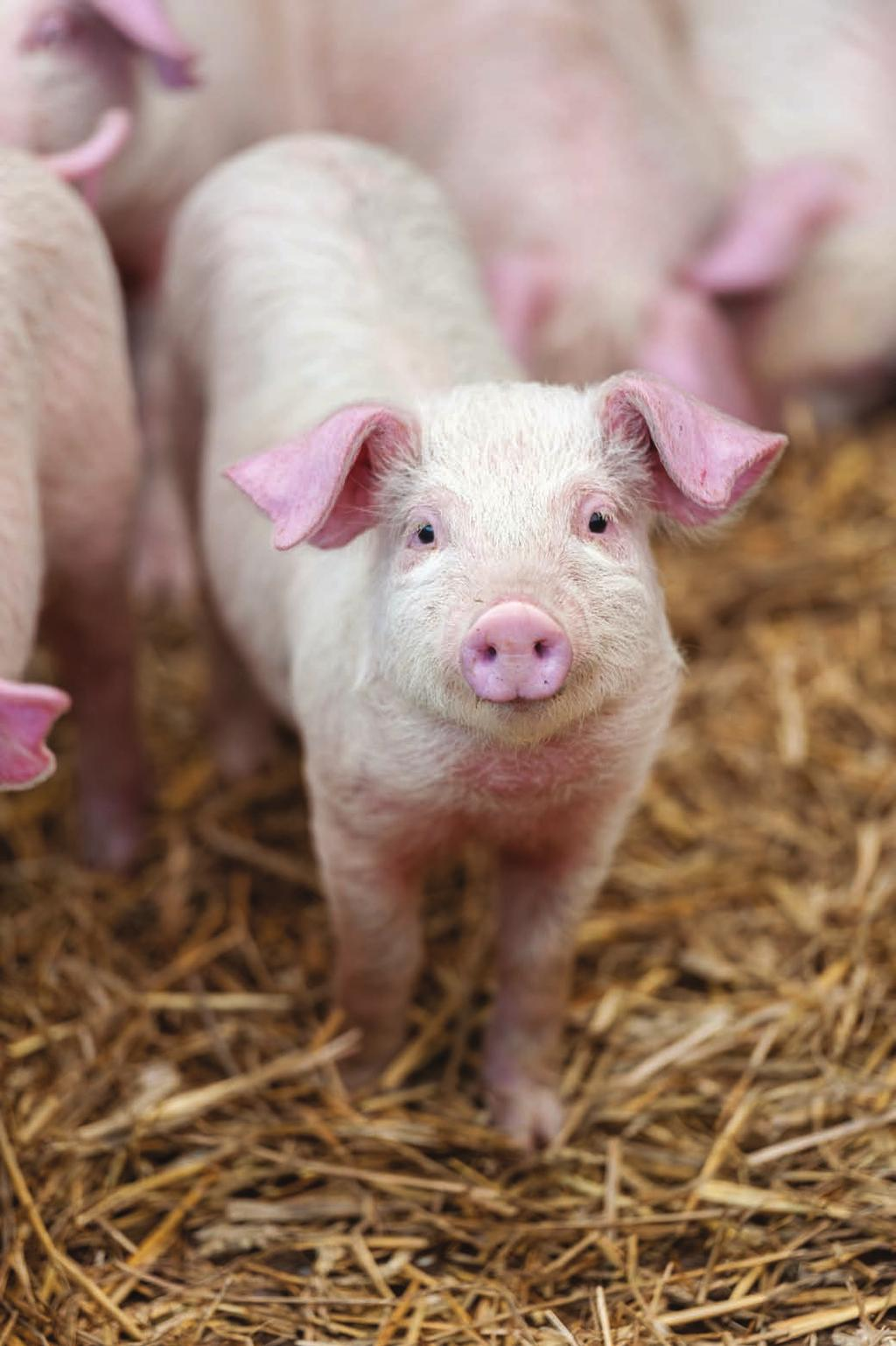 Investing In Sustainability Benefits have been seen in the piglets by just