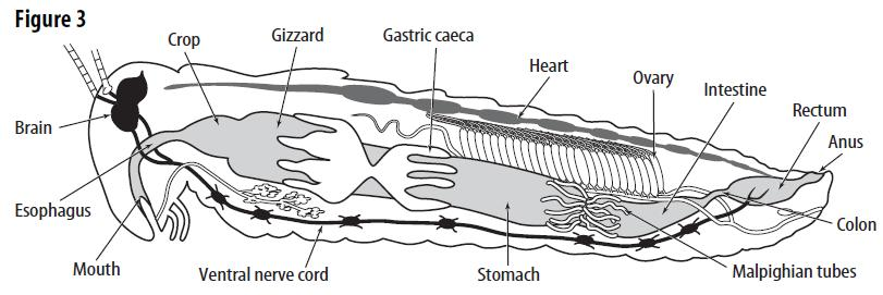 Grasshopper dissection pdf table 1 internal structure of the grasshopper body part air tubes ovaries esophagus crop gizzard stomach ccuart Image collections