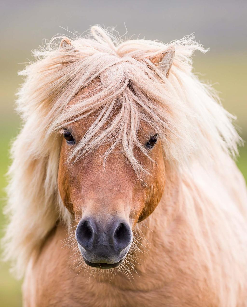 Later in history, because of its hardy nature and its small size, the pony