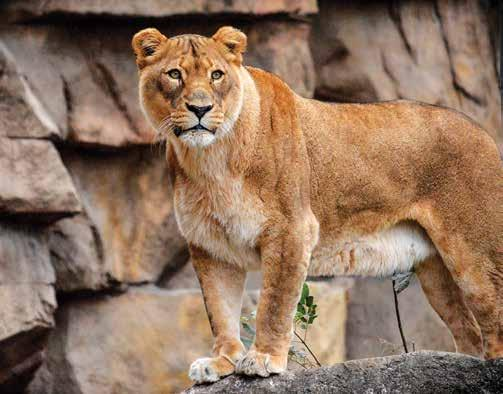 Adult Safaris Carnivore Safari Come and explore the Zoo after hours as we visit long-time favorite areas the Bear Pits, Sea Lion Sound and Big Cat Country.
