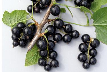 the black currant leaves may be used for flavoring tea or preserver such as salted cucumbers, making a deep greenish yellow beverage while in Europe the leaves have traditionally been used for