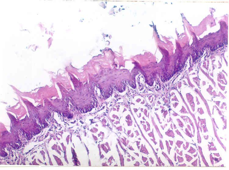 Control group (I), dorsal surface of rat tongue showing numerous regular orientations of the lingual papillae covered by a keratinized epithelium formed of four layers.