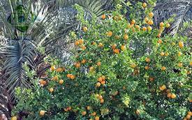 25 mm³ A large number of the manpower is employed in agriculture. Orange is widely grown in its orchards. Date palm trees are concentrated around Mouqdadiyah and run north towards Kifri.