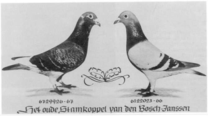 HISTORY OF THE MEULEMANS STRAIN. KAREL MEULEMANS, ARENDONK...the legacy of a fantastic strain that concurred the world, still to be found in the stocklofts of Herman Beverdam in Enter.