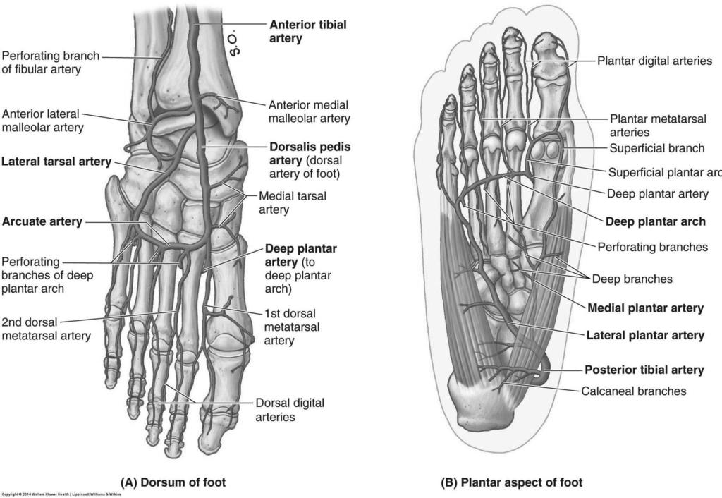 Funky Dorsum Of Foot Anatomy Crest - Human Anatomy Images ...