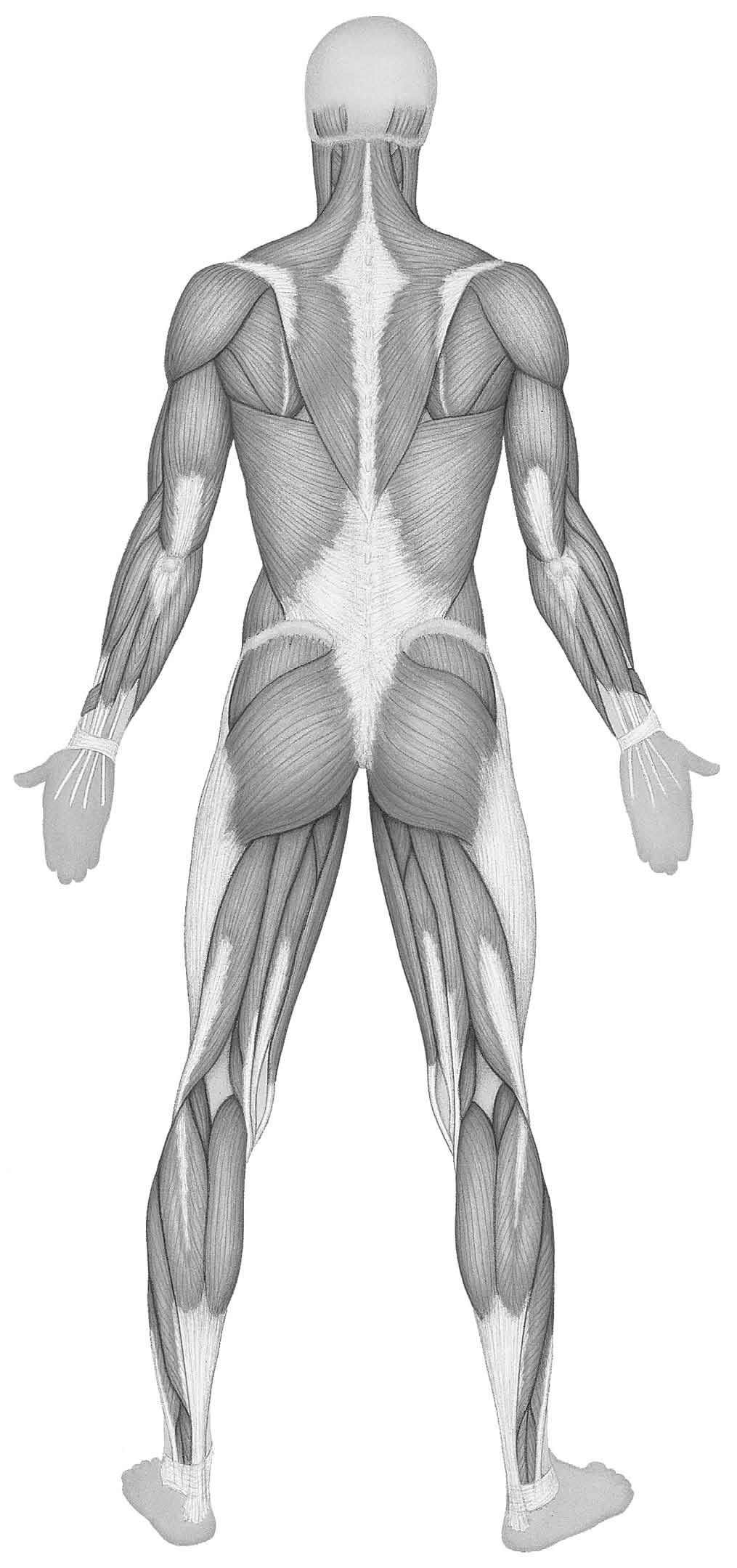 worksheet Muscular System Review Worksheet gross anatomy of the muscular system human muscles body source lr15181 188 5 12 04 1 07 pm p 187 03 302 l