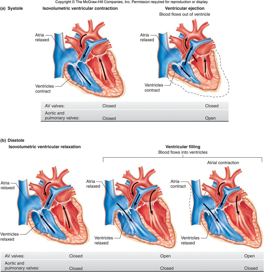 Physiology Unit 3 CARDIOVASCULAR PHYSIOLOGY: THE HEART - PDF