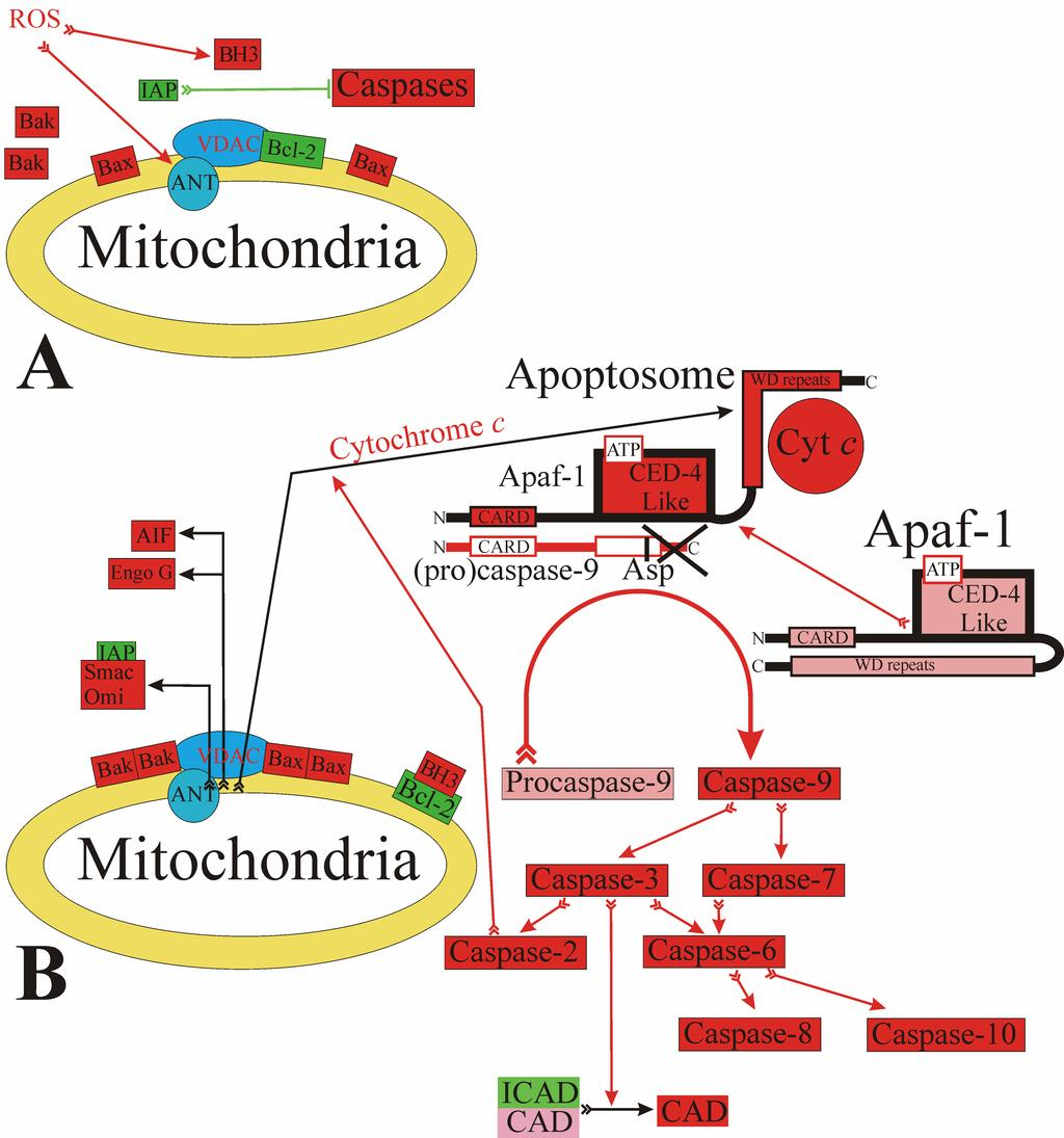 Fig. 2. Apoptosis induced by a mitochondria-dependent mechanism: the release of proapoptotic proteins into the cytosol and the activation of caspases.