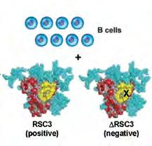 FIGURE 2 Use of rationally designed Env probes to identify broadly neutralizing antibodies against HIV 1.