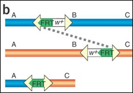 6.2.3 Exelixis FLP/FRT mediated deletion An effort was made determine the function of a number of candidate clock genes by generating lines hemizygous for those genes.