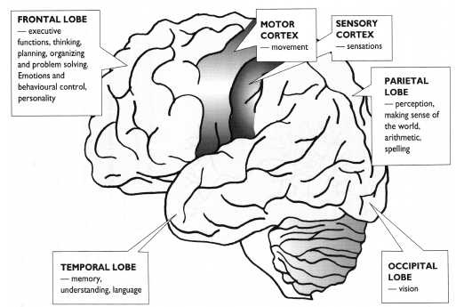 Basic Brain Information Brain facts Your brain weighs about 3lbs, or just under 1.