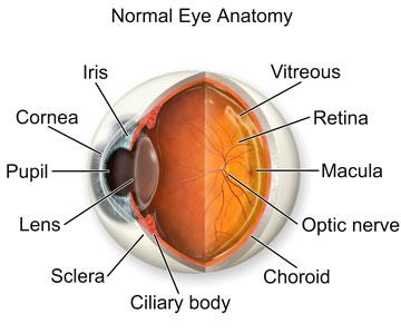 It helps focus light rays on to the back of the eye (the retina), which sends messages to the brain allowing us to see.