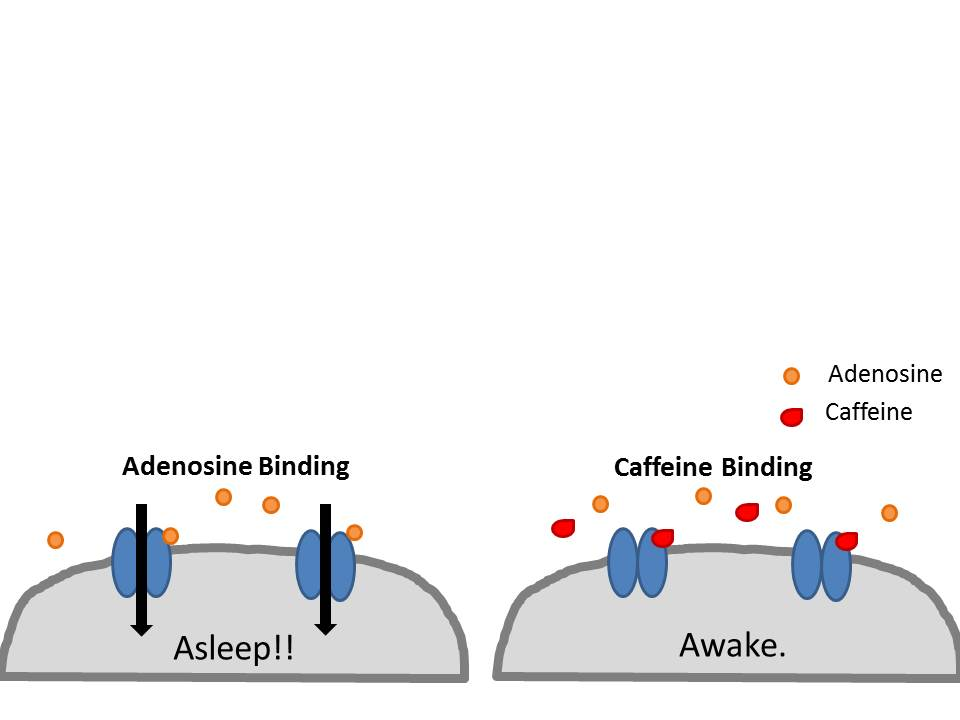 LESSON READING Another clue about adenosine s role in promoting sleep came from studying caffeine, which as we all know, decreases drowsiness and promotes wakefulness.