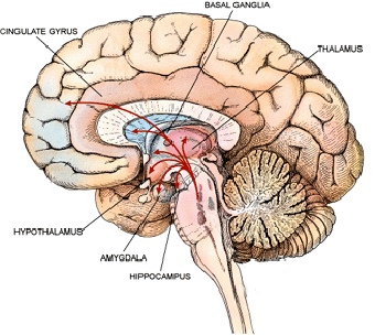LESSON READING The Cerebrum The cerebrum forms the bulk of the CNS (Figure 10). The cerebrum consists the three deep-lying structures surrounded by the cerebral cortex.