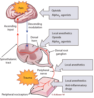 DEFINITIONS OF TERMS Analgesics drugs that reduce pain. For a complete list of defined terms, see the Glossary. LESSON READING Figure 20: Cingulate cortex (also kown as Cingulate gyrus).