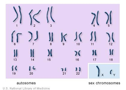 8 Karyotype digitized image of the chromosomes from a single cell; each fragment of DNA is on a separate chromosome.