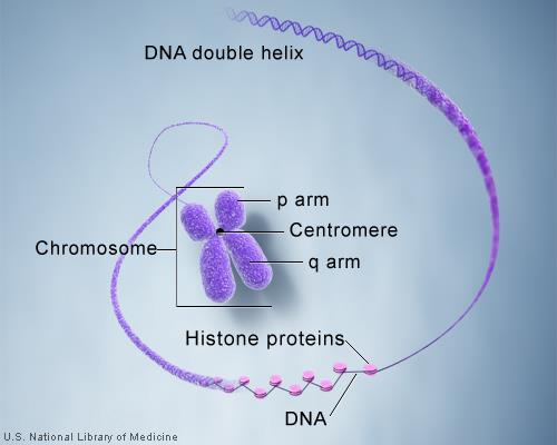 However, the DNA that makes up chromosomes becomes more tightly packed during