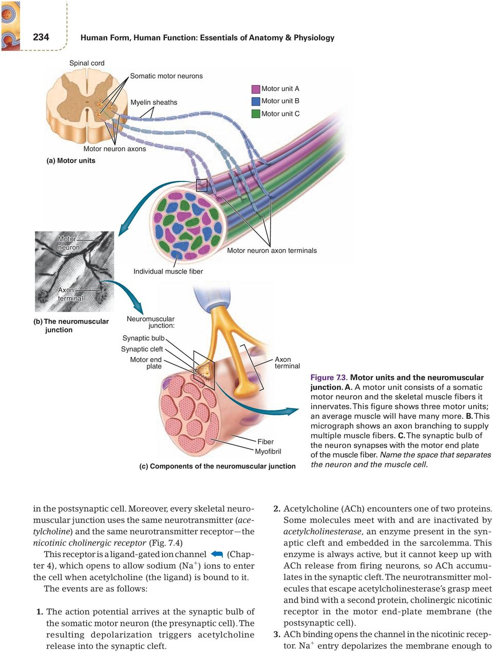 terminal (c) Components of the neuromuscular junction Figure 7.3. Motor units and the