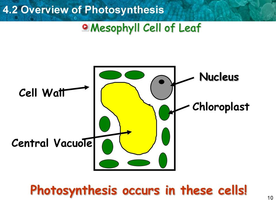 Nucleus Chloroplast Central