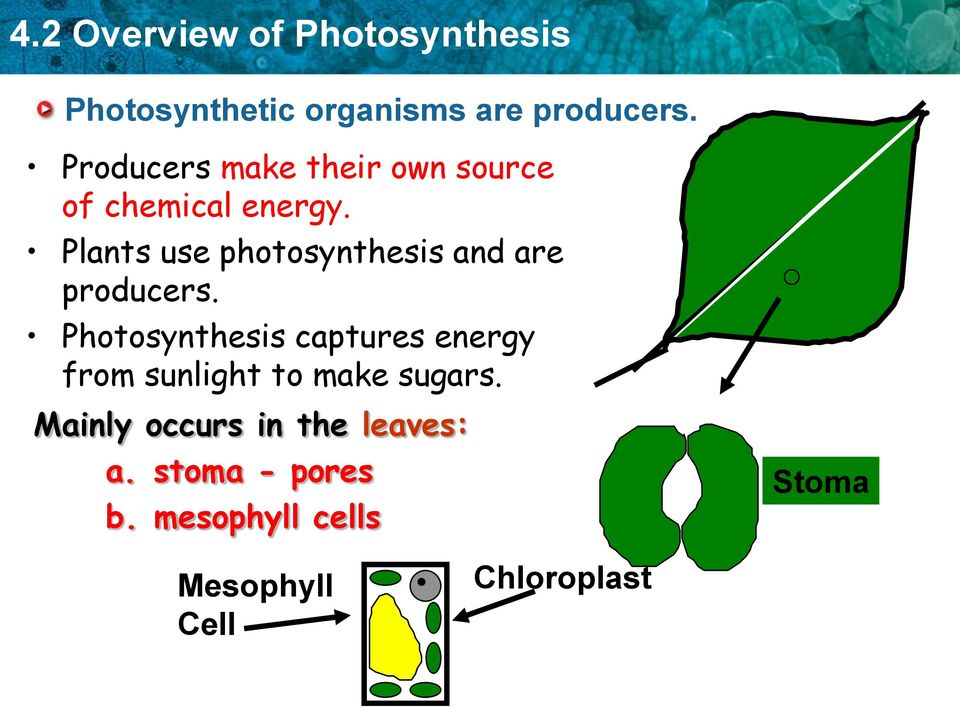 Plants use photosynthesis and are producers.