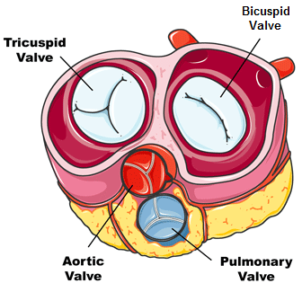 15. What are the functions of the valves in the heart?