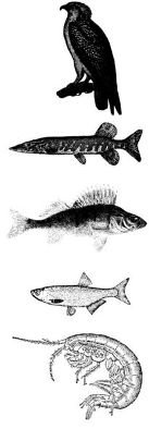 Guide to food chain (top to bottom): osprey, pike, perch, smelt, freshwater shrimp. Which population would show the quickest increase if perch were eliminated from the food chain?