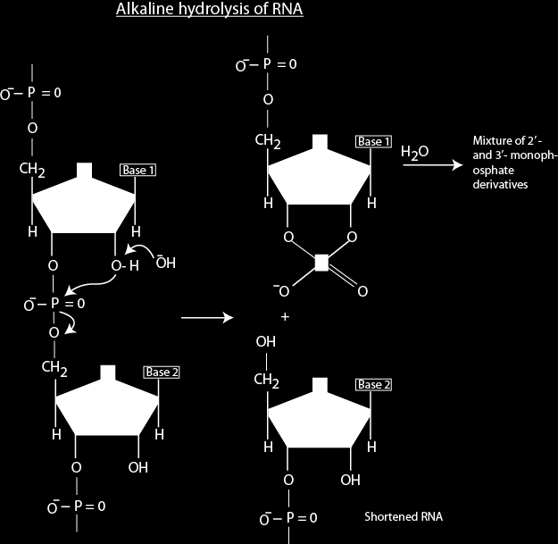 Wherever complimentary sequences are present in RNA, the predominant double stranded structure is an A form right handed double helix.