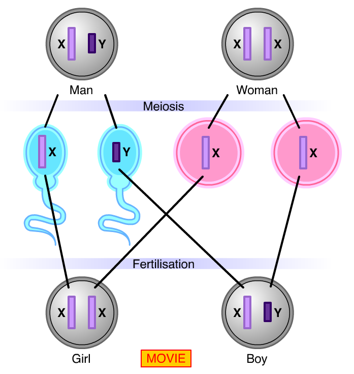 Determining sex Human body cells have 23 pairs of chromosomes in the nucleus.