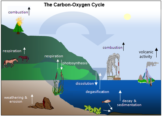 Earth s Cycles 1. Models are often used to explain scientific knowledge or experimental results. A model of the carbon cycle is shown below.