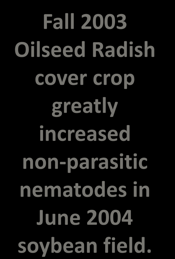 Fall 2003 Oilseed Radish cover crop greatly