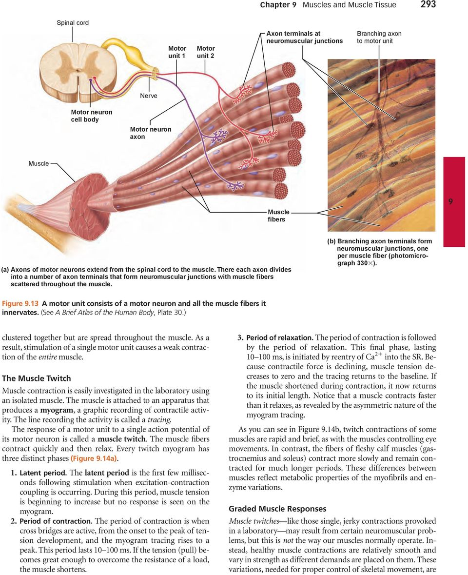 There each axon divides into a number of axon terminals that form neuromuscular junctions with muscle