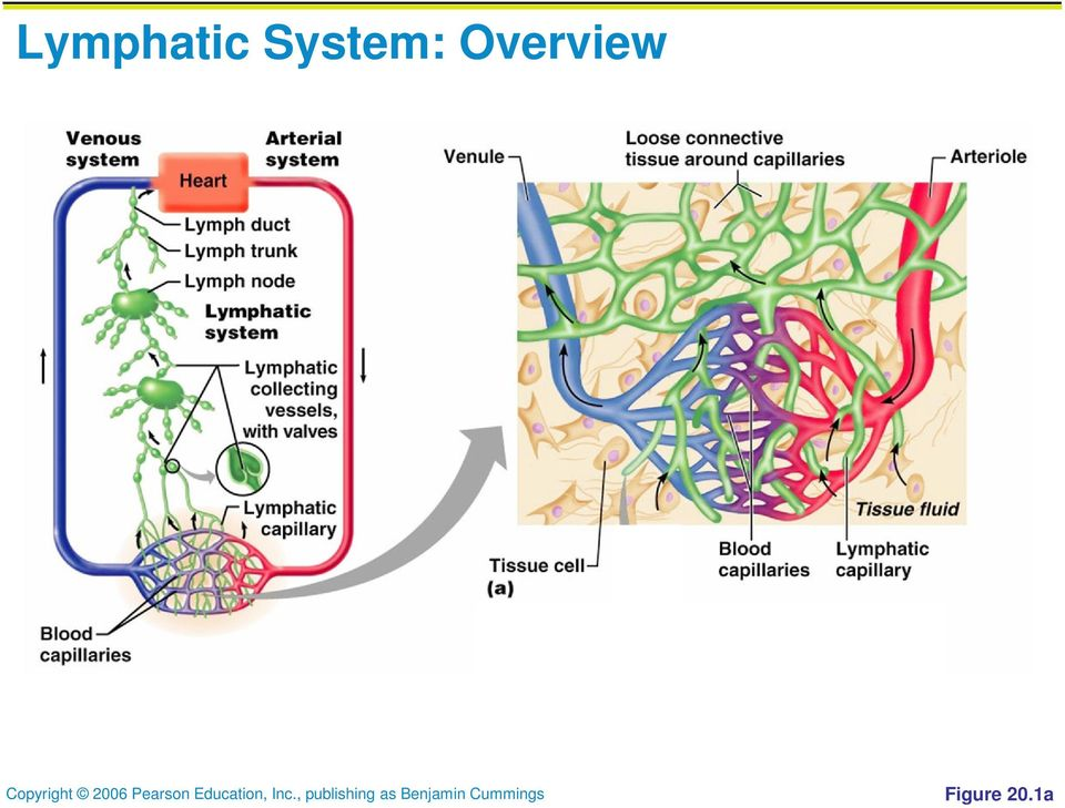 Lymphatic System Overview Pdf