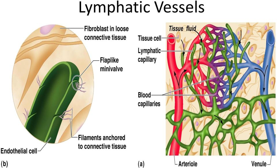 The Lymphatic System Pdf