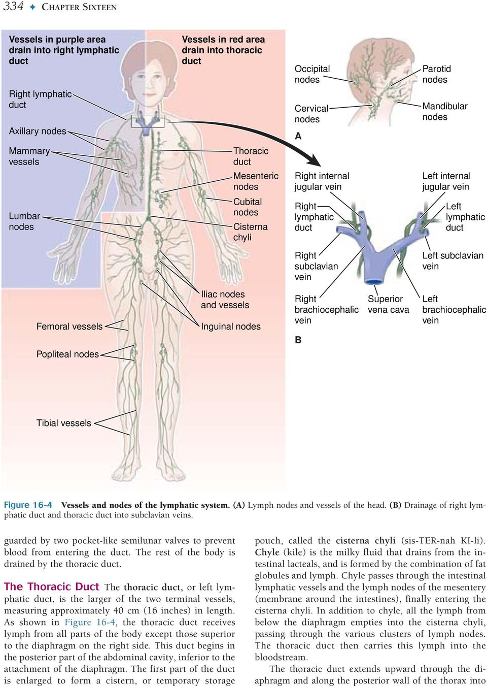 The Lymphatic System Lymphatic Circulation Functions Of The